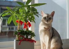 20190805_10_LR (enno7898) Tags: panasonic lumix lumixg9 dcg9 xvario 35100mm f28 cat abyssinian pet