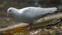 a white pigeon in the colors of fall (Franck Zumella) Tags: white blanc pigeon bird oiseau fall autumn automne couleur rouge red orange lake lac water eau animal nature