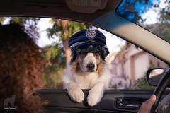 45/52 Ma'am, do you know just how fast you were going? (Jasper's Human) Tags: 52weeksfordogs dog aussie australianshepherd police cop speeding