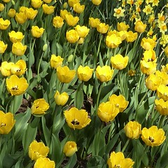 Lombard, IL, Lilacia Park, Remembering Early Spring, Yellow Tulips and Daffodils (Mary Warren 14.2+ Million Views) Tags: lombardil lilaciapark spring garden park nature flora plants green leaves foliage bloom blossom flower yellow tulip