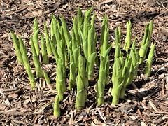 Lombard, IL, Lilacia Park, Remembering Early Spring, Emerging Hosta (Mary Warren 14.2+ Million Views) Tags: lombardil lilaciapark spring garden park nature flora plants green leaves foliage hosta