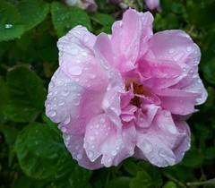 Raindrops on Roses (scinta1) Tags: newzealand christchurch flower rose pink raindrops petals leaves green raining