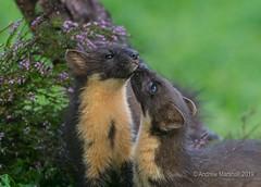 Love and affection (Gowild@freeuk.com) Tags: pinemarten martesmartes scotland ardnamurchan andrewmarshall wildlife nature animals summer mustelids mammals uk british nikon