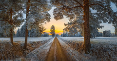 To the beautiful distant ... (Lashkov Fedor) Tags: park pavlovsk pine pines trees road path walk hoarfrost dawn branches trunk winter