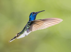 White Necked Jacobin Hummingbird in flight dancing in the air, Asa Wright Nature Center, Trinidad. (pedro lastra) Tags: hummingbird trinidad colombia florida flight macro tropical bird america trochilidae aves chordata apodiformes