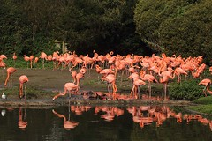 Caribbean flamingos, WWT Slimbridge, UK (inyathi) Tags: uk england gloucestershire wwt slimbridge wildfowlandwetlandstrust wildfowl waterfowl birds flamingos caribbeanflamingos americanflamingo phoenicopterusruber