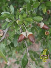 Quercus fusiformis ME 01 (TexasFlora) Tags: oaks quercus edwardsplateau liveoak acorn