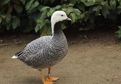 Emperor goose, WWT Slimbridge, UK (inyathi) Tags: uk england gloucestershire wwt slimbridge wildfowlandwetlandstrust wildfowl waterfowl goose geese emperorgoose birds ansercanagicus