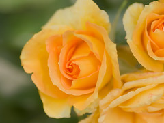 Rose (upjohn_freak) Tags: rose rosa flower fleur fiore yellow