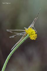 Truxalis Nasuta (Raul Espino) Tags: 2019 canon100mml canon6dmarkii macro macrofotografia natural naturaleza sevilla insectos truxalisnasuta