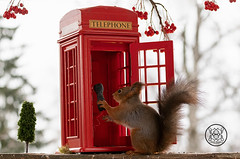 red squirrel holding a telephone witha booth (Geert Weggen) Tags: telephone animal humor ringjewelry snow backlit bicycle booth bright closeup cute cycle logo mammal nature parasol passion payphone photography red rodent squirrel sun sweden telephonebooth travel vacations call lamp lantern summer tele talk bispgården jämtland ragunda geert weggen