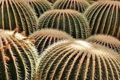 Be Careful Where You Sit (Jan Nagalski) Tags: plant arid aridgarden cactus needles spines barrel barrelcactus goldenbarrelcactus echinocactusgrusonii desert conservatory holtonaridgarden meijergardens grandrapids michigan jannagalski jannagal nature is