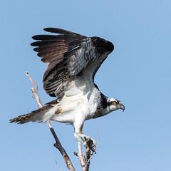 Osprey (Ed Sivon) Tags: america canon nature lasvegas wildlife western wild southwest desert clarkcounty vegas flickr bird birdofprey henderson nevada