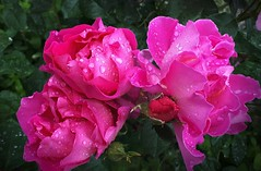 Caught in a Shower (scinta1) Tags: newzealand christchurch botanicgardens flowers roses pink petals buds raindrops rain raining water bunch green leaves wet bush