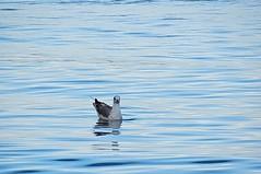 Seagull (tomislav dmejhal) Tags: blue italia italy bird water sea seagull