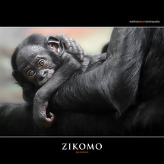 ZIKOMO (Matthias Besant) Tags: affe affen affenfell animal animals ape apes pygmychimpanzee fell zwergschimpanse hominidae hominoidea mammal mammals menschenaffen menschenartig menschenartige monkey monkeys primat primaten saeugetier saeugetiere tier tiere trockennasenaffe bonobo schauen blick blicken augen eyes look looking jungtier baby zikomo bonobobaby child kind zoo zoofrankfurt matthiasbesant hessen deutschland