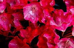 Blumen, Blüten, blossoms and flowers (serie) red,  76790/12082 (roba66) Tags: blumen blüten fleur flori flor flora flores bloem plants pflanzen colores color colour coleur roba66 nature natur naturalezza blume flower