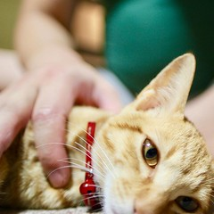 she was captured. #cat #猫 #ネコ #ねこ #茶トラ #orangecat #Tokyo #日本 #東京 #Japan #Katze #chat #gatto #gato #feles #кошка #KAT #gato #??? #ko?ka #kass #муур #pisic?