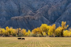 *Autumn meets Fremont River Valley II* (Albert Wirtz @ Landscape and Nature Photography) Tags: usa utah albertwirtz herbst fall autumn autunno badlands fremontrivervalley hanksville capitolreefnp southwestusa usasouthwest landscape landschaft nature natur southcainvillemesa cainville fremont tree baum nikon d810 natura paesaggio paysage campo campagne campagna fineart fineartphotography landscapefineart cow cattle rind kuh weide meadow wiese agricultural ländlich rural waynecounty erosion herbstimpression autumnimpression