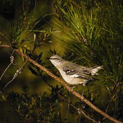 "mocking bird (Paul"") Tags: mockingbird mockinabird lumberton lumbertonnc northcarolina pfh hss"