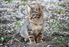 Sardinian kitten - Gatito sardo (En memoria de Zarpazos, mi valiente y mimoso tigre) Tags: kitten kitty grey tabby straykittens gattino gatito nikon sardegna sardinia cerdeña cat gato gatto chat micio