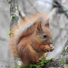 Red Squirrel (Sciurus vulgaris) (eerokiuru) Tags: redsquirrel sciurusvulgaris eichhörnchen wiewiórka écureuil scoiattolo белка orav nikoncoolpixp900 p900 animal wildlife nature eesti estonia