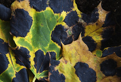 Maple leaves with fungus (klauslang99) Tags: klauslang nature naturalworld northamerica maple leaves fungus macro composition fall autumn abstract