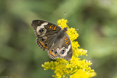 Butterfly 2019-172 (michaelramsdell1967) Tags: butterfly butterflies nature animal animals insect insects macro bokeh buckeye common yellow green brown beauty beautiful pretty lovely vivid vibrant detail delicate fragile upclose closeup meadow goldenrod bug bugs zen wildlife nikon
