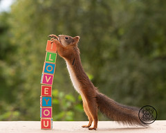 red squirrel holding blocks with the word I love you (Geert Weggen) Tags: alphabet animal baby backlit bright child closeup communication cute education humor learning letter looking mammal message nature number peeking photography red rodent squirrel staring sun sweden tail teacher text watching woodmaterial word falling blocks love iloveyou valentine bispgården jämtland ragunda geert weggen