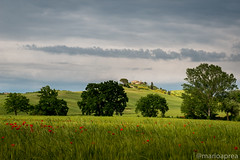 Poppies, trees and hill (Mario Aprea) Tags: marioaprea landscape nature paesaggio siena workshop outside sky nikkor green field tree rural