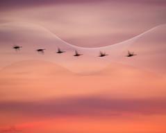 passing through (marianna armata) Tags: geese flying pink sky sunset psd hss mariannaarmata motion blur
