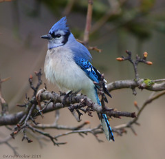 Blue Jay (Arvo Poolar) Tags: outdoors ontario scarborough rosettamcclaingardens arvopoolar nikond500 naturallight nature natural naturephotography bird bluejay perched