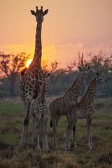 Girafes #1 [ Delta de l'Okavango ~ Botswana ] (emvri85) Tags: afrique botswana okavango girafe savane brousse leverdesoleil sunrise d850 80400 giraffe