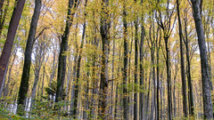 herbstlicher Buchenwald (Role Bigler) Tags: emmental fujifilmxt2 fujinonxf1855mm1284rlmois herbst natur tree autumn fall forest nature schweiz suisse switzerland wald wood kirchberg kantonbern