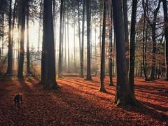 That Season again (FlavioSarescia) Tags: forest hss iphone nature landscape dog sunshine sunrise sunbeam sunrays sunlight home shien shine autumn fall herbst wald trees shadows