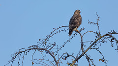 Buzzard - Marbury Park, Northwich (Tim Preece) Tags: bird prey buzzard
