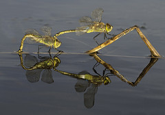 Anax ephippiger en puesta (svjg67) Tags: anaxephippigerpuesta libélulas dragonflies odonatos