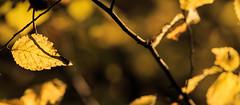 Autumn (1 of 1) (ianmiddleton1) Tags: autumn autumnal fall glasgow