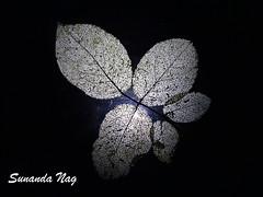 Network (sunandanagrose67) Tags: roseleaf veins nature mygarden backlit
