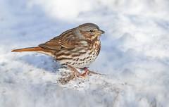 Fox Sparrow (Steven Rossi) Tags: sparrow fox ontario steverossi