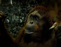 Hope for life (*Millie*) Tags: dark glass brown reddish face portrait orangutan wild smithsoniannationalzoo washingtondc zoo criticallyendangered ef50mmf18stm canoneosrebelt6i sad eyes hopeforlife milliecruz