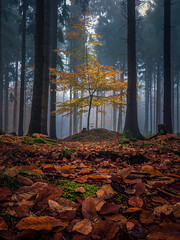 The eleventh month (Eifeltopia) Tags: fall herbst südeifel eifel foggy moody november beech tree stacked nature fallen leaves calm wide contrast