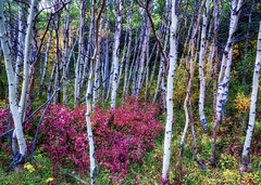 Glorious Grove - Glacier National Park (j-rye) Tags: fall glaciernationalpark ilce7rm2 landscape montana a7rm2 colors mirrorless nature sony sonyalpha tamron2875 trees leaves roadside