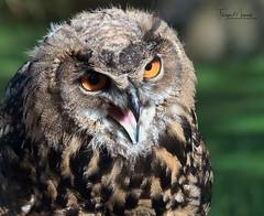 UHU/Eagle owl (babsbaron ( Bella )) Tags: nature naturfotografie naturephotographie tiere tierfotografie animals animalphotographie vögel vogel birds greifvögel crossbirds eulen owls uhu eagleowl wildpark tierpark animalpark lüneburgerheide