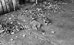 Ailing Raccoon (neilsonabeel) Tags: nikonfm2 nikon nikkor blackandwhite raccoon film analogue brooklyn newyorkcity street animal
