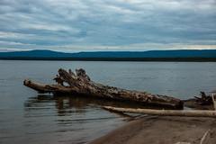 Lesser Slave Lake Drift Tree (Bracus Triticum) Tags: lesser slave lake drift tree アルバータ州 alberta canada カナダ 8月 八月 葉月 hachigatsu hazuki leafmonth 2019 reiwa summer august