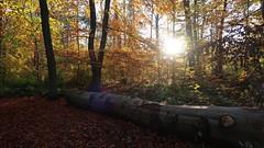 November sunshine (co.schwarz) Tags: wald tree trees nature natur bäume baum november forrest sonne sun