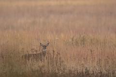 Golden Fields (scott5024) Tags: whitetailed deer buck rut rutting season orland grassland wildlife mammals nikon d500