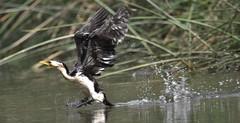 Little Pied Cormorant (Luke6876) Tags: littlepiedcormorant cormorant bird animal wildlife australianwildlife nature