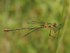 Common Emerald (Lestes sponsa) Female (Rezamink) Tags: lestessponsa commonemerald emeralddamselfly dragonflies odonata uk